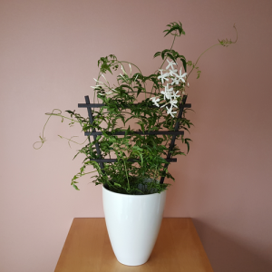 Jasmine trellis in 6 inch pot; white fragrant flowers