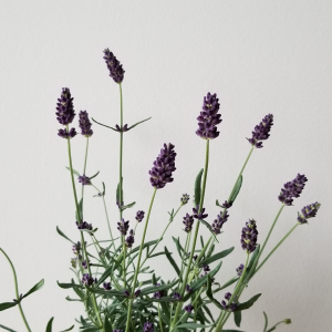 Lavender English flowering fragrant indoor plants houseplants aromatherapy purple blooms interior plants plant sale Toronto Mississauga Etobicoke Oakville Brampton Burlington GTA