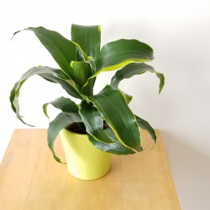dracaena dragon dorado indoor plants indoors houseplants plant sale Toronto Mississauga Oakville Burlington Brampton Hamilton St. Catherine Oshawa Pickering GTA