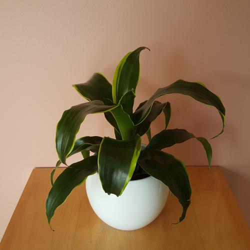 dracaena dragon dorado in white ceramic container