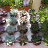 echeveria in 2.5 inch pot - houseplants for bright location, on sale, Mississauga, Toronto, GTA