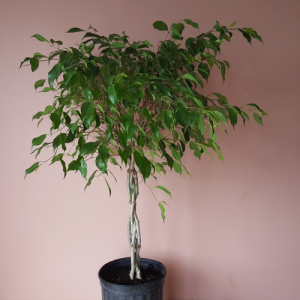 Ficus Benjamina braid 8 inch pot available in our plant shop in Mississauga GTA