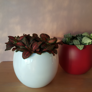 Fittonia red and white variegated leaves; Indoor plants; Houseplants; Plants for terrariums; in ceramic Lisa decorative containers