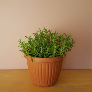 Lavender in 6 inch pot. Lavandula angustifolia 'Munstead' Fragrant indoor plants