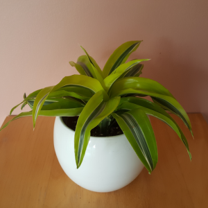 Dracaena deremesis 'Lemon Surprise' available in 4 and 6 inch pots; easy to maintain houseplant for medium to bright light; available in our plant shop, GTA