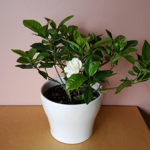 Gardenia in 6 inch pot indoor flowering plant white fragrant flowers