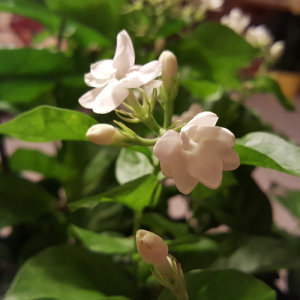 jasmine sambac maid of orleans fragrant flowering houseplants indoor plants interiorplants plant sale Toronto Mississauga Oakville Burlington Brampton GTA
