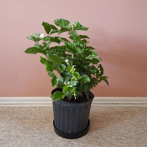 Jasmine sambac (Arabian Jasmine) in 10inch pots fragrant flowering indoor plants