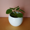 Pilea peperomioides (Pancake plant, Chinese money plant) in 4 inch pot Fun and easy to grow indoor plant, Mississauga, GTA