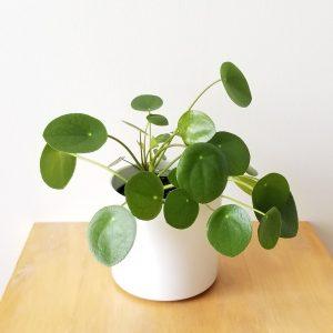 Indoor plants houseplant sale Interiorplants plant gifts Mississauga Toronto Etobicoke Brampton Burlington Hamilton Oakville Ontario Richmond Hill North York GTA Pilea Pancake plant Money plant