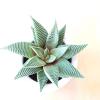 haworthia variety succulents indoor plants houseplants interiorplants home office plants plant sale Mississauga Etobicoke Toronto Brampton Burlington GTA