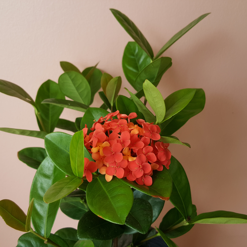 Ixora Indoor plants Houseplants for bright sunny location in 6 inch available at our plant shop in Mississauga GTA orange flowers