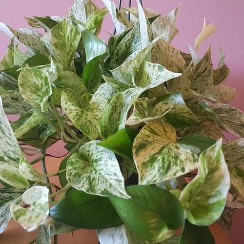 Marble Queen Pothos (Scindapsus aureus); indoor plants; houseplants; medium bright light; beautiful variegated leaves