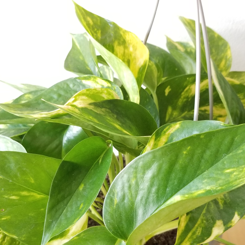 golden pothos money plant vine indoor plants houseplants plant sale Mississauga Toronto Brampton Burlington Oakville Etobicoke GTA