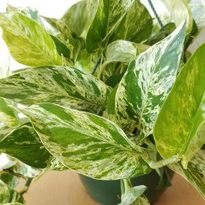 plant gifts air-purifying indoor plants sale Mississauga Toronto Brampton Oakville Etobicoke Burlington GTA Pothos Marble Queen Vine