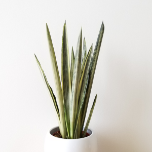 sansevieria bantel sensation 4 inch pot indoor plants houseplants indoor air purifying plants plant sale Toronto office plants Mississauga Oakville Burlington Brampton Hamilton GTA
