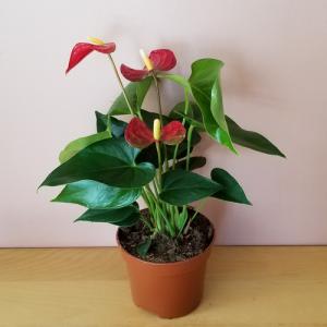 anthurium 5 inch flowering houseplants indoor plants plant sale Mississauga Toronto Brampton Burlington Oakville GTA