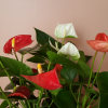anthurium (flamingo flower) in variety; flowering houseplants; indoor plant sale Mississauga GTA
