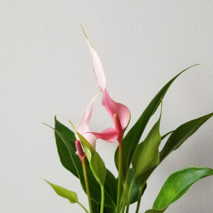 pink delicate color anthurium flowering indoor plants houseplants interior plants plant sale Mississauga Toronto Burlington Brampton Oakville Hamilton Etobicoke GTA