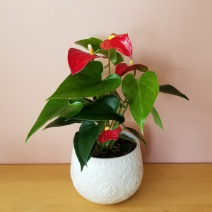 Anthurium (Flamingo flower) flowering indoor plants houseplants plant sale Mississauga Toronto Brampton Burlington Oakville GTA