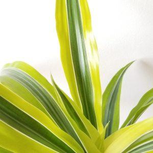 Indoor plants houseplants green plants for indoors interiorplants Plant shop GTA Mississauga Toronto Etobicoke Brampton Burlington Oakville Hamilton Dracaena Lemon Lime