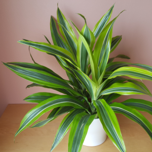 dracaena warneckii lemon lime in white decorative container; indoor plants houseplants for bright to medium light