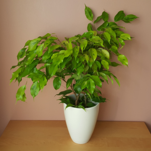 Ficus Benjamina Weeping Fig bush form 6 inch container indoor plants houseplants office plants Mississauga GTA
