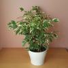 ficus benjamina variegated white green leaves weeping fig bush indoor plants houseplants interiorplants plant sale Mississauga Toronto Brampton Burlington Oakville Hamilton Ajax GTA
