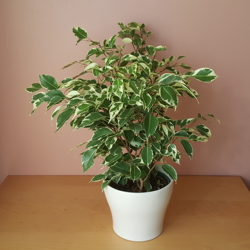 ficus benjamina variegated white green leaves weeping fig bush indoor plants houseplants interiorplants plant sale Mississauga Toronto Brampton Burlington Oakville Hamilton Ajax GTA