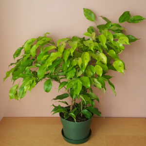 ficus benjamina (weeping fig) lime green leaves in 6 inch pot indoor plants for medium to bright light houseplants Mississauga GTA
