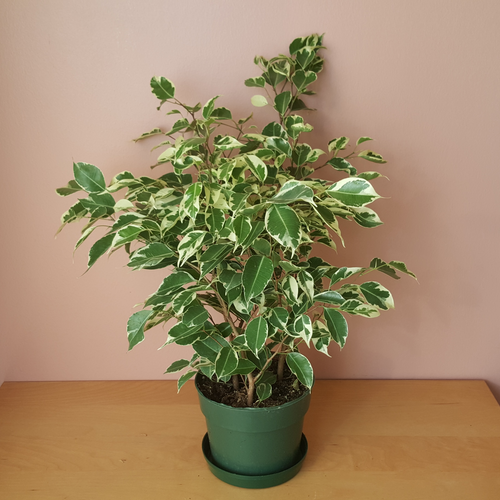 Ficus Benjamina bush (Weeping Fig) white green variegated leaves; indoor plant sale Mississauga Toronto Oakville GTA