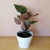 calathea makoyana Peacock plant in 6 inch houseplants indoor plants sale Mississauga Oakville Toronto GTA