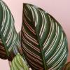 Calathea ornata pinstripe indoor plants houseplants plant sale Mississauga Toronto Oakville Burlington Brampton GTA