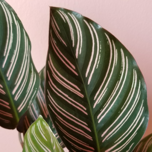 Calathea ornata pinstripe indoor plants houseplants plant sale Mississauga Toronto Oakville Burlington Brampton GTA