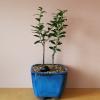 bonsai plants in ceramic container indoor plants houseplants interiorplants office plants Mississauga Toronto GTA