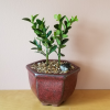 bonsai plants in assortment sale indoor plants houseplants Mississauga Toronto GTA