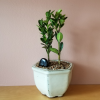 bonsai plants gifts indoor plant houseplants interiorplants Mississauga Toronto GTA