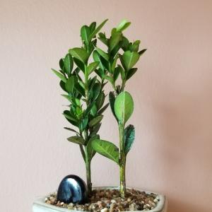 bonsai plants gifts indoor plant houseplants interiorplants Mississauga Toronto GTA