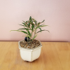 bonsai collection houseplants indoor plants interior plants plant sale Toronto Mississauga Brampton Burlington Oakville GTA