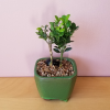 bonsai assortment mini indoor plants houseplants interiorplants plant sale Mississauga Toronto Oakville Burlington Brampton GTA