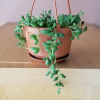senecio string of beads succulents for sale Mississauga Toronto GTA