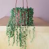 senecio string of pearls 4 inch hanging basket succulent indoor plant sale Mississauga Toronto Brampton Oakville GTA