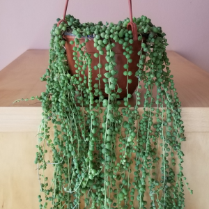 senecio string of pearls green indoor plants houseplant sale Mississauga Toronto GTA