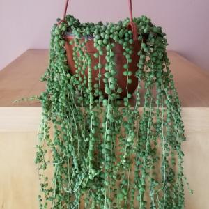 senecio string of pearls green indoor plants houseplant sale Mississauga Toronto GTA