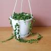 string of pearls senecio 4.5inch indoor plants houseplants interiorplants succulents plant sale Mississauga Toronto Burlington Brampton Oakville GTA