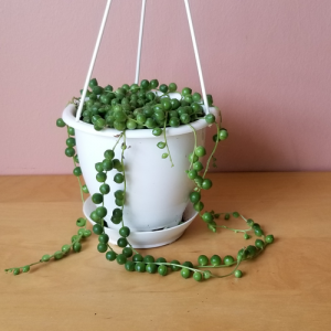 string of pearls senecio 4.5inch indoor plants houseplants interiorplants succulents plant sale Mississauga Toronto Burlington Brampton Oakville GTA