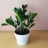 ZZ plant indoor plants houseplants Mississauga Toronto GTA low light