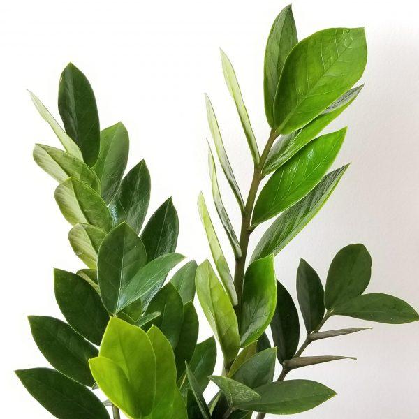 Indoor plants houseplants green plants for indoors interiorplants Plant shop GTA Mississauga Toronto Etobicoke Brampton Burlington Oakville Hamilton ZZ plant