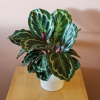 Calathea medallion indoor plants houseplants interiorplants plant sale Mississauga Toronto Oakville Burlington GTA