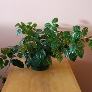 grape ivy indoor plants houseplants office plants Mississauga Toronto Burlington Oakville GTA